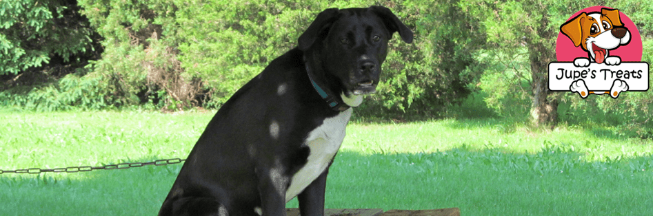 great dane black lab mix sitting on a picnic table
