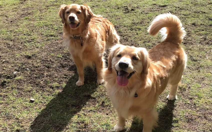 Dogs in a dog park amid covid-19