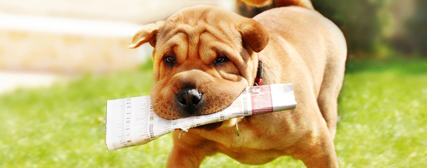 Pitbull puppy fetching newspaper